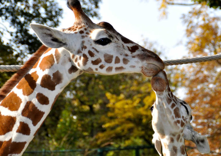 girafe et girafon CNV bienvenue